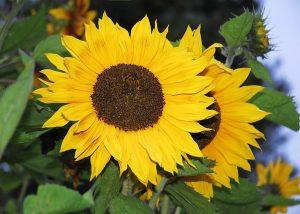 s sunflowers