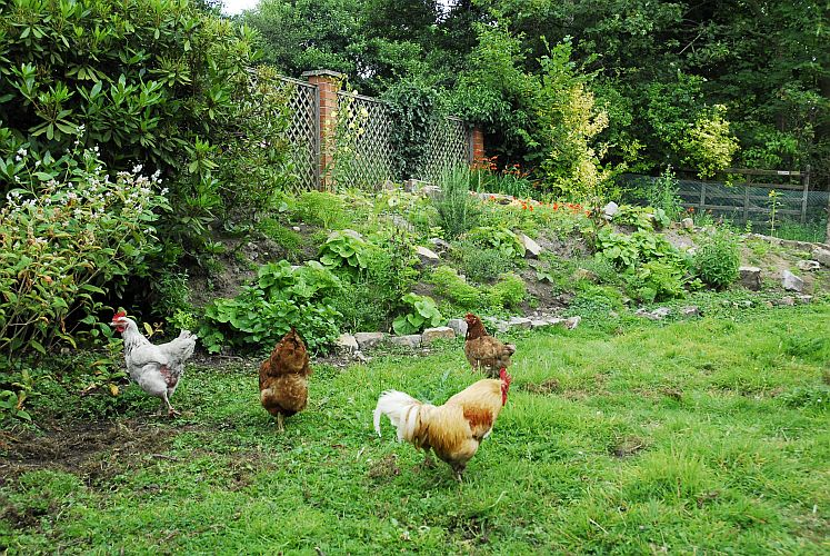 Our front garden hens on holiday with Cocky Rocky