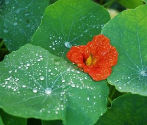 nasturtiums in October