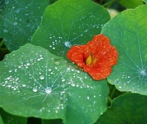nasturtiums in October