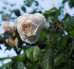the last rose of summer
