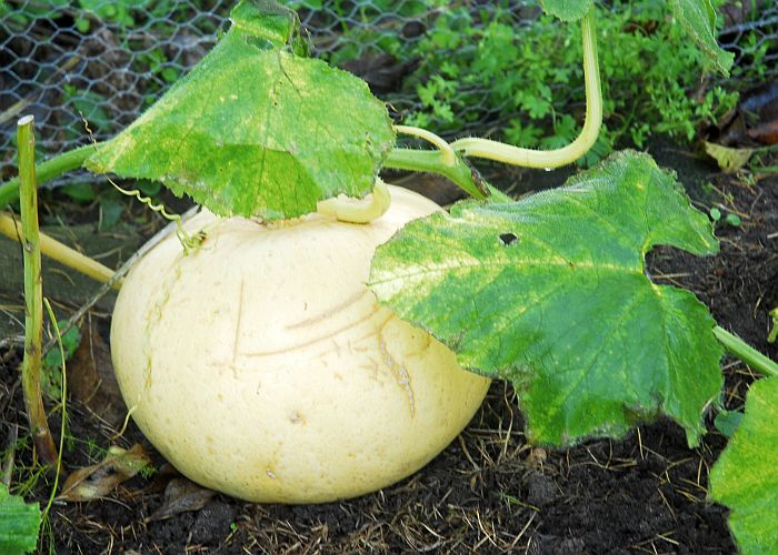 pumpkins to carve into Jack'o'Lanterns