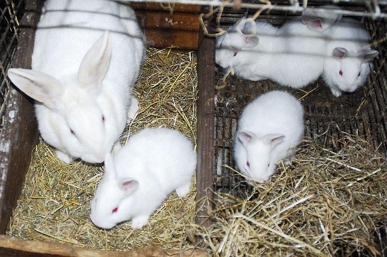 New Zealand White Rabbits 3 weeks old