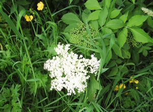 _DSC0582elderflower