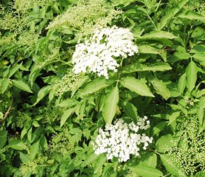_DSC0577elderflower cordial